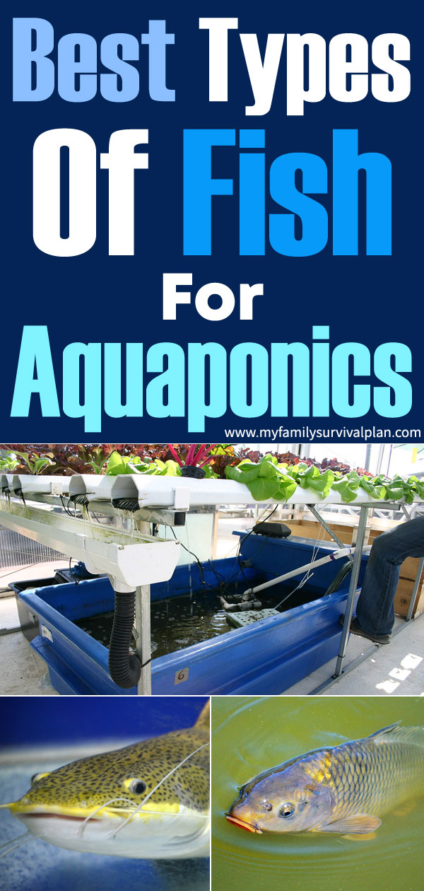 Best Types Of Fish For Aquaponics