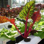 Plants To Use In Aquaponics