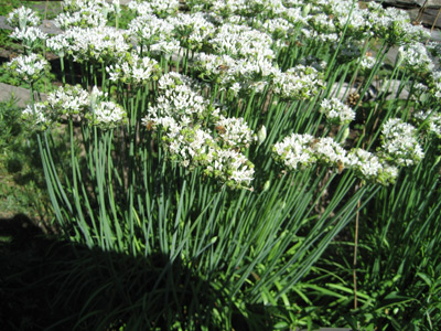 Garlic-Chives