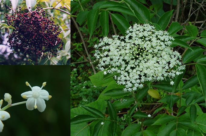 My family survival plan 52 plants in the wild you can eat my elderberry mightylinksfo