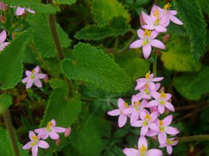 herb-robert-bloodwort