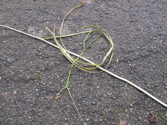 basswood-cordage