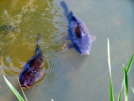 How-Carp-Can-Save-Your-Life