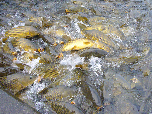 spread of carp
