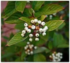 White baneberry