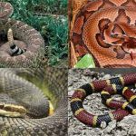 4 Deadly Poisonous (Venomous) Snakes in America