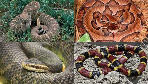 4 Deadly Poisonous (Venomous) Snakes in America