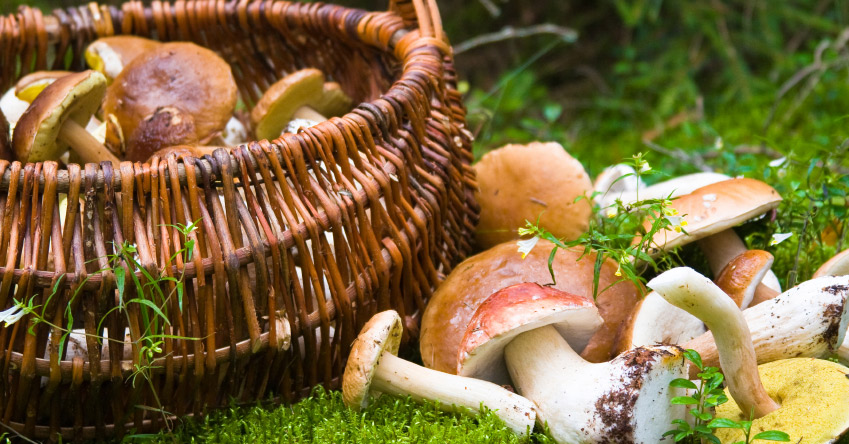 Identifying Wild Mushrooms