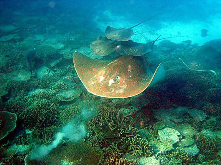 Australian bull ray