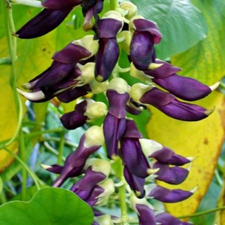 Cowhage or devil beans (Mucuna pruriens)