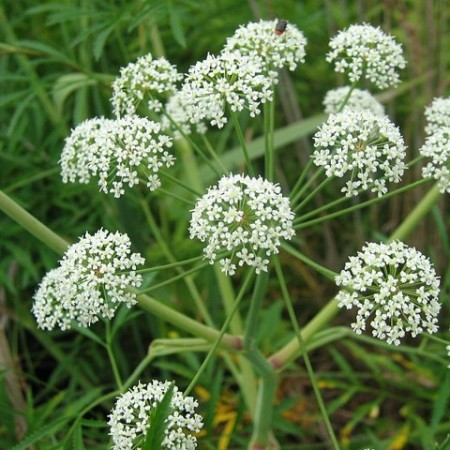 The snakeweed or death-of-man (Cicuta virosa)