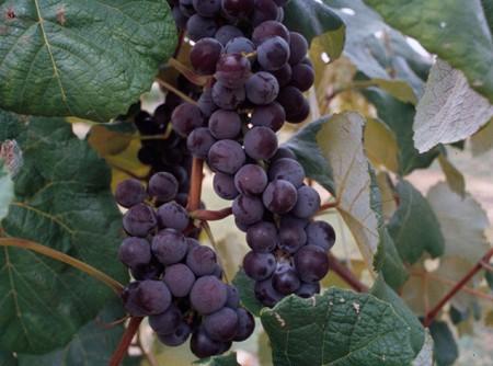 Grape (Vitis spp.)