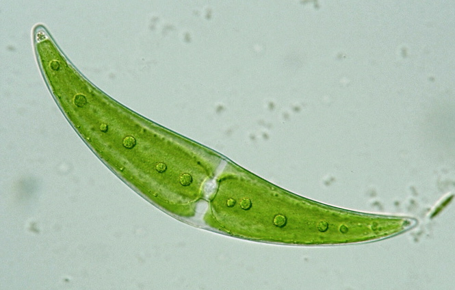 Closterium moniliferum