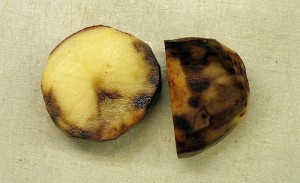 Potato covered in blight