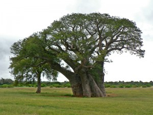 The baobab (Adansonia digitata)