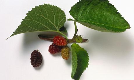 Stumped-Mulberry-tree-006