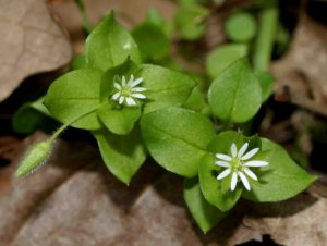 chickweed-common-chickweed