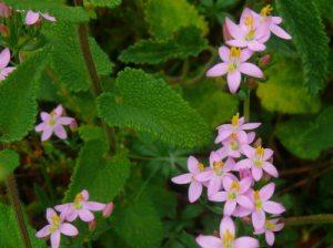 herb-robert-bloodwort