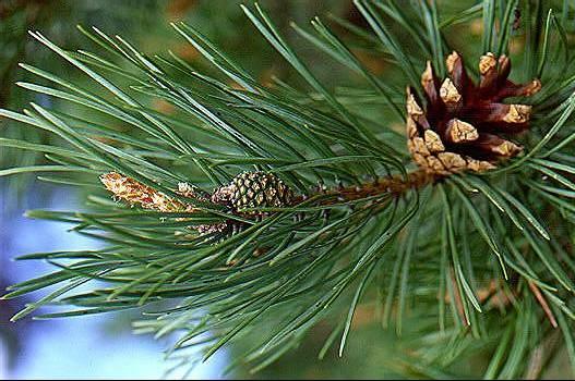 pine-needles1