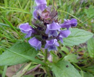 self-heal-heal-all-prunella-vulgaris