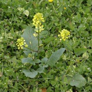 wild-mustard-sinapis-arvensis