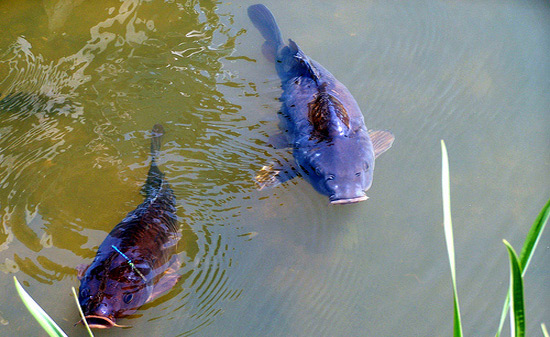 How Carp Can Save Your Life