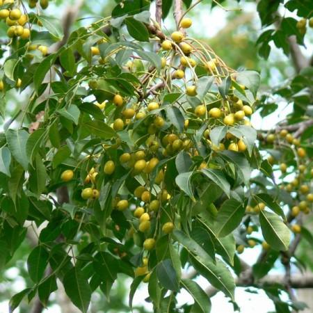 The white cedar or chinaberry (Melia azedarach)