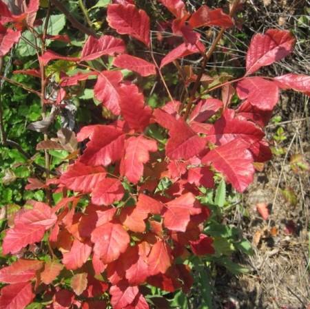 Western poison oak