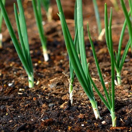 Onions  (Allium cepa)