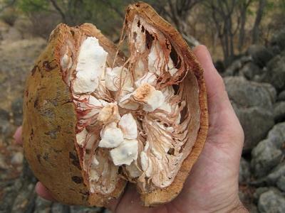 The baobab fruit