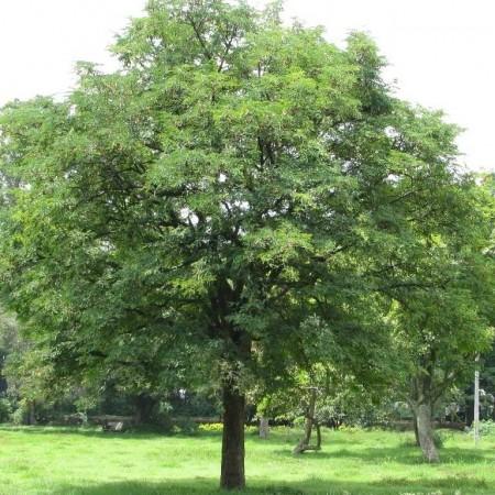 The tamarind (tamarindus indica)
