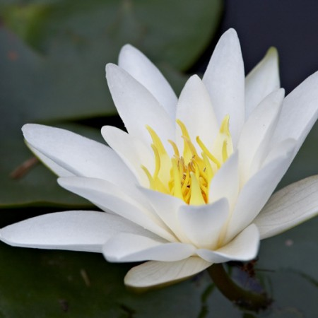 The water lily (Nymphaea odorata)